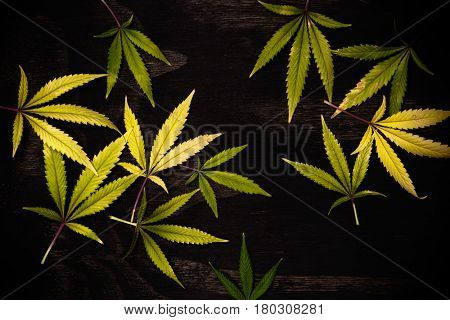 Fresh harvested cannabis leaves pattern isolated over black background - medical marijuana concept