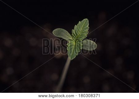 Macro detail of cannabis sprout (sour diesel marijuana strain) with a seed shell attached to a leaf, isolated over black