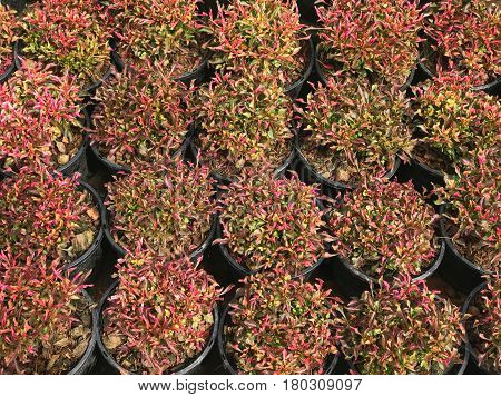Pattern of red and green plant leaf in black pot background(Alternanthera sessilis)