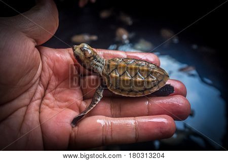 Closeup of man holding baby loggerheads sea turtle.Baby loggerheads are a little larger than a fifty-cent piece.They will easily fit in the palm of your hand.