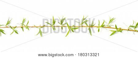 Branch of a weeping willow on a white background
