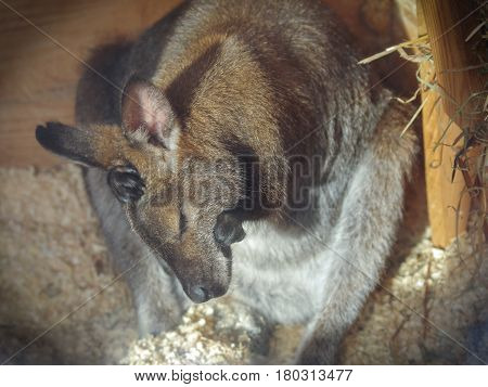 A wallaby small kangaroo cleans itself after sleep in a zoo heated pavilion on a sunny winter day