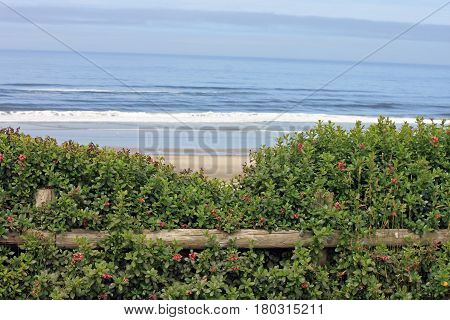 Looking over Fenced Shrubs to an Open Expanse of Beach