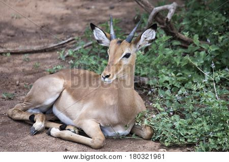 Young Male Impala On Ground
