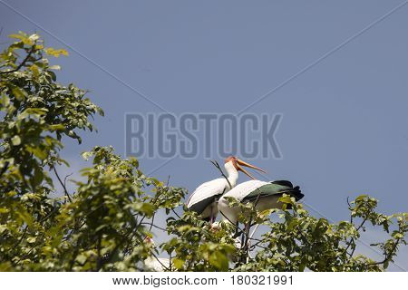 Yellow Billed Storks Perched, Lake Manyara National Park, Tanzania
