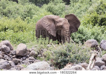 Elephant In Bush, Lake Manyara National Park, Tanzania