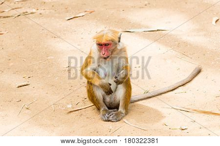 monkey in the royal park in Sri Lanka