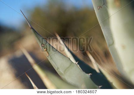 Green Desert Agave Plant In Anza Borrego
