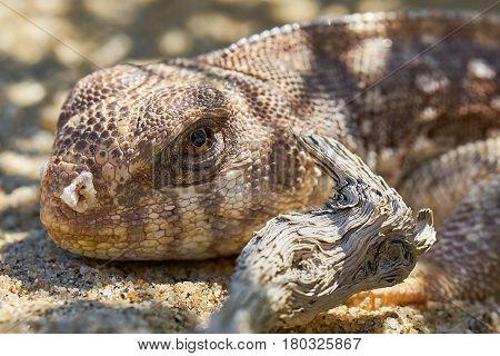 Small brown lizard in Anza Borrego Desert State Park
