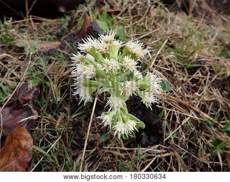 White Butterbur , (Petasites albus) , flower ,