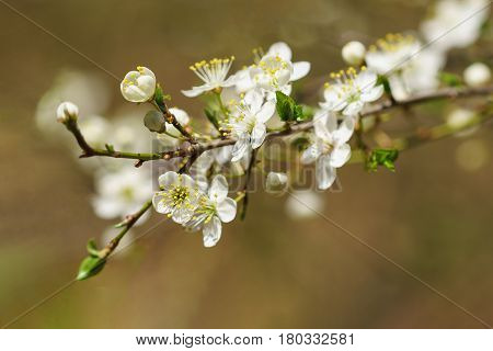 The spring bloom of the wild plum or Plum spread or Plum vishnevskoe (lat. Prunus cerasifera). Sunny day