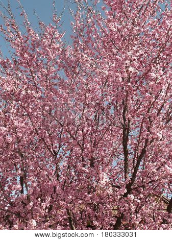 pink plum blossoms on tree in San Jose against robin's-egg blue sky