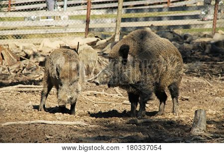 two wild boars (Sus scrofa), dominant male and younger one