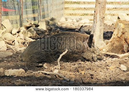 big wild boar (Sus scrofa) sleeping in the mud