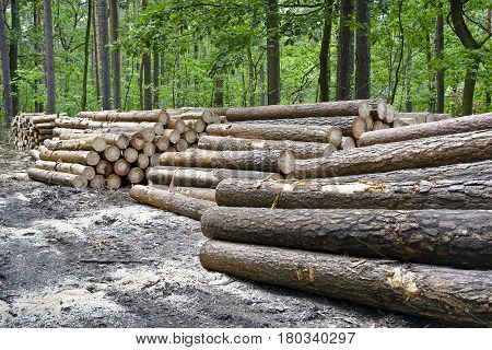 Stack of felled trees in the forest. Felling old trees in the forest ready for transport.