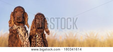 Website banner of funny Irish Setter dogs as looking at the camera