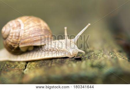 Close up portrait of a slimy slow snail