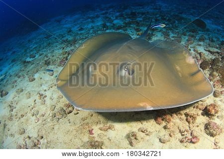 Jenkin's Ray Stingray
