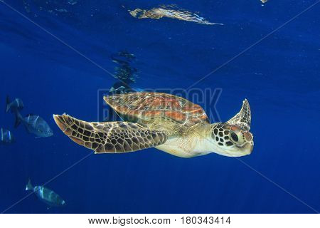 Green Sea Turtle and snorkeler diver