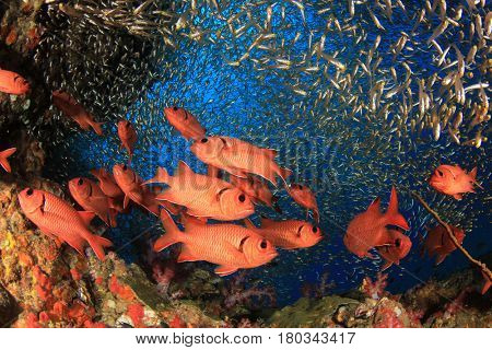 Red Soldierfish and glassfish fish