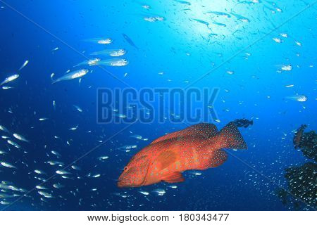 Grouper fish
