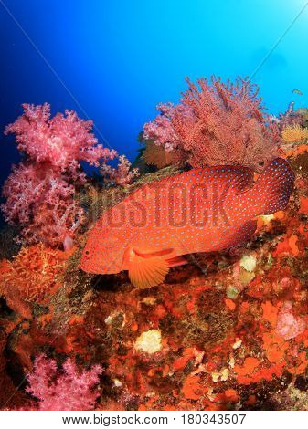 Red Grouper fish coral reef