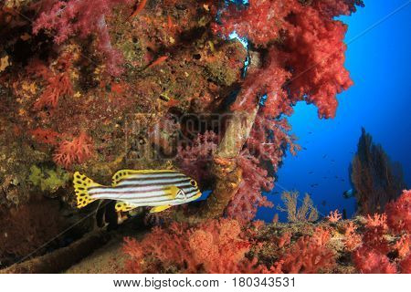 Coral reef and Oriental Sweetlips fish