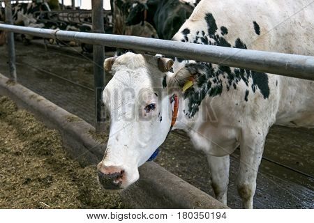 Cows in a stable on a dairy farm.