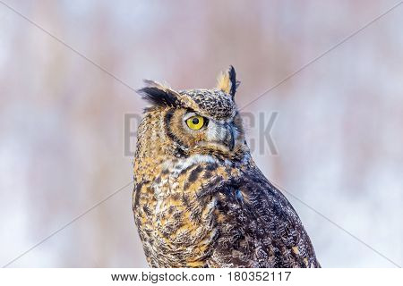 The great horned , also known as the tiger or the hoot, is a large owl native to the Americas. It is an extremely adaptable bird with a vast range and is a common  true owl in the Americas