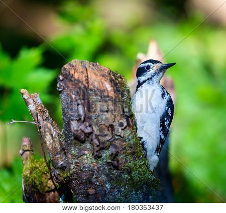 The larger of two look alikes, the Hairy Woodpecker is a small but powerful bird that forages along trunks and main branches of large trees. It wields a much longer bill than the Downy Woodpecker.