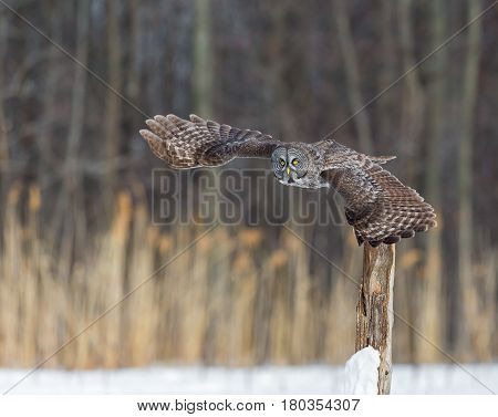 The great grey owl or great gray is a very large bird, documented as the world's largest species of owl by length. Here it is seen perched searching for prey in Quebec's harsh winter.