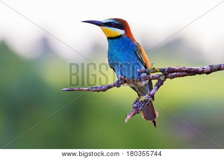 bee eater sitting on a dry branch and beautiful light, wildlife birds
