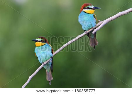 wonderful colored birds sitting on the flat branch, wildlife birds