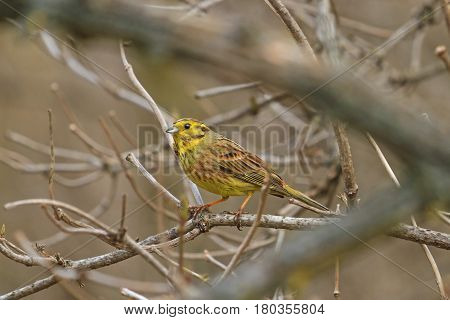Yellowhammer among thick branches yellow bird in a gray environment, wildlife birds