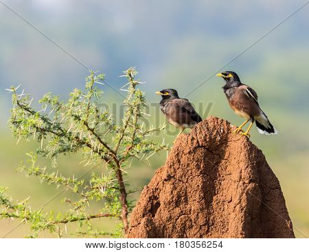 Common Myna's perched on a termite mound in Incredible India. These two birds look like the police of birds, or the flying squad.