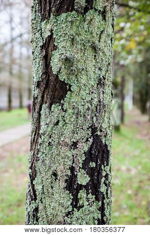 Green and grey lichen and moss on a tree bark. Disease of a wood. Forest and park. Fruit  and garden trees problems.