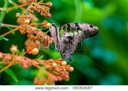 The tailed jay, is a predominantly green and black tropical butterfly that belongs to the swallowtail family. The butterfly is called the green-spotted triangle, tailed green jay, or green triangle.