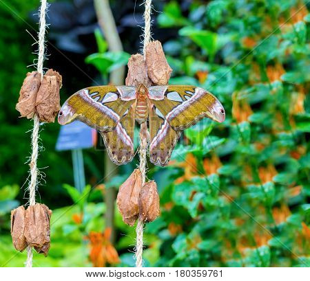 Cobra or Atlas moth is a large saturniid moth found in the tropical and subtropical forests of Southeast Asia, and is common across the Malay archipelago. Atlas moths were often considered the largest