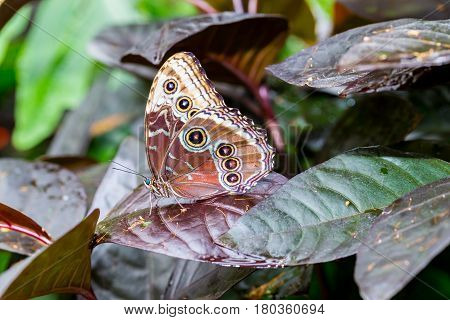 Rainforest Blue Morpho Butterfly , is one of over eighty described species of butterflies that reside in the rainforests. Morpho butterflies are neotropical butterflies.