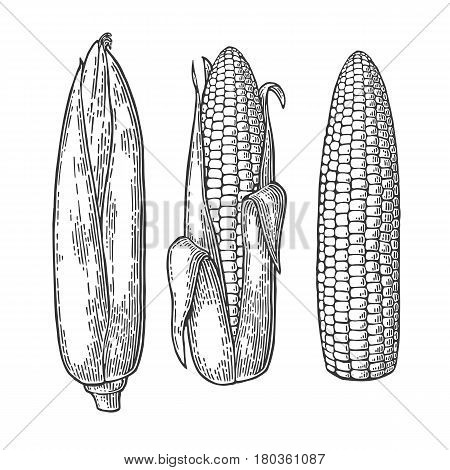 Set ripe cob of corn from the closed to the cleaned. Different degree of purification of the leaves. Vector vintage engraving illustration. Isolated on white background.
