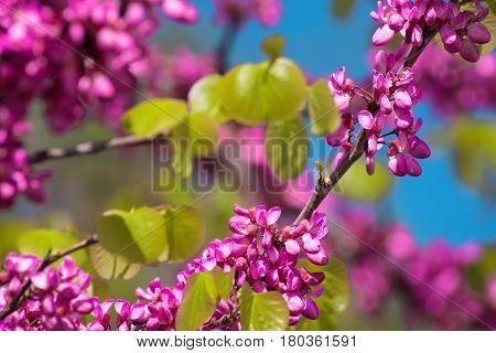 Cercis Siliquastrum aka Judas Tree Pink Blossoms