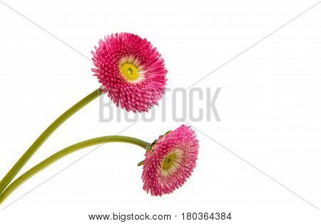 pink flower marguerite isolated on white background