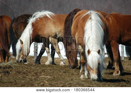 hay horses horse eating group herd grazing