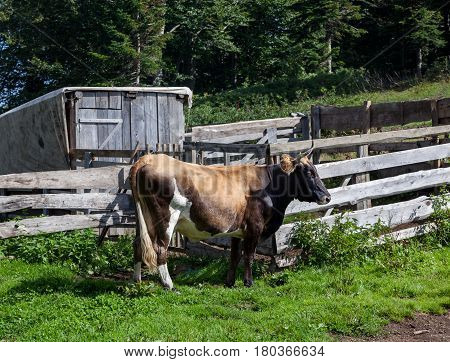 Dairy cow near the corral with a barn in the countryside