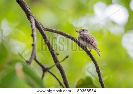 Bird (asian Brown Flycatcher) On A Tree