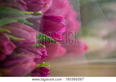 Closeup Purple Tulips wrapped in bouquets for springtime background social sharing image or springtime Easter and Mother's Day greetings photography