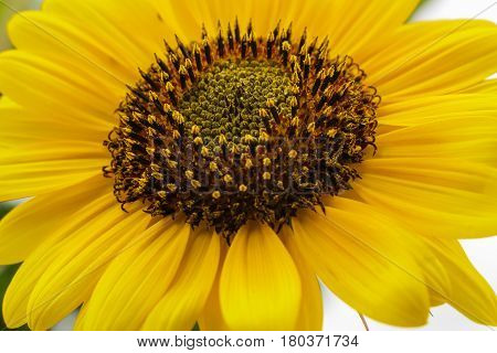 Close up of bright yellow sunflower with stamen and pistil growing.