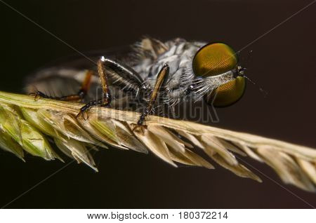 Robber Fly / Macro shoot of robber fly