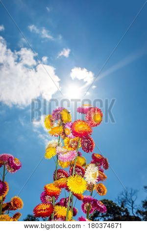 Beautiful bouquet of colorful dry straw flowers or everlasting with blue sky with clouds and sunlight. Outdoor at the daytime on summer day. (Helichrysum bracteatum)