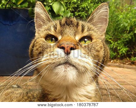 Close-up of a tabby cat face in the garden. Green eyes. Whiskers. Grey gray striped fur.